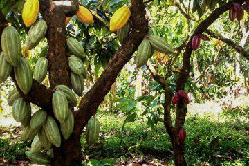 Arbol de cacao Alto el Sol